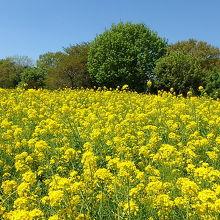 菜の花。「みんなの原っぱ」と「花の丘」にあります。