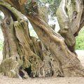 写真:樹齢千年のオリーヴ大樹
