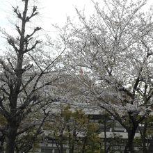 ちょうど桜