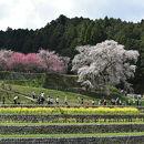 本郷の滝桜 又兵衛桜