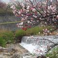 写真:花桃の里