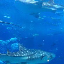 美ら海水族館 巨大水槽
