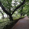 写真:千鳥ケ淵緑道