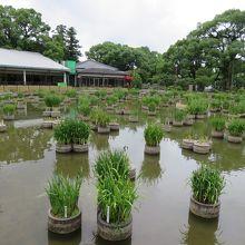 菖蒲池とうぐいす茶屋