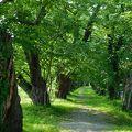 写真:桧木内川堤の桜並木