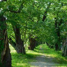 スケールの大きい桜並木です。