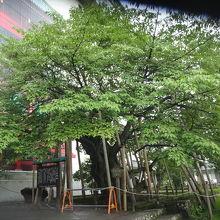 樹齢500年を越す山桜の巨木