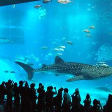 ジンベイザメが泳ぐ大水槽