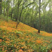 夏は、キツネノカミソリが一面に咲きます