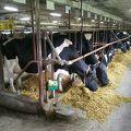 写真:小岩井農場 上丸牛舎
