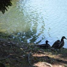 鴨も居ます