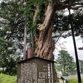 写真:小田原城跡のイヌマキ