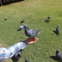鳩は人に慣れ切っていて手に乗ってきます。子供たちは大喜び!