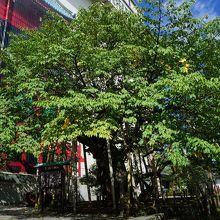 推定樹齢500年の山桜で、天然記念物
