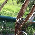 写真:コアラ保護センター