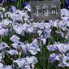 6月上旬は菖蒲、蓮、紫陽花などの花が咲いていました