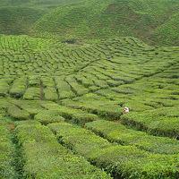 常春の楽園9: キャメロン・ハイランド 「メガ茶畑」 キャメロン・バレー・ティー