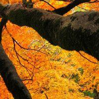 明治の森箕面国定公園へ紅葉散歩...燃え立つような紅葉の木々に出会えました☆