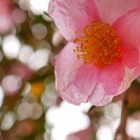 三重 松阪の泰運寺と山茶花
