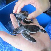 ティオマン ウミガメの赤ちゃんとシュノーケル三昧