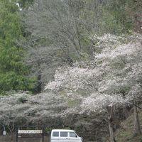 小原の「四季桜」