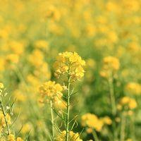 春の訪れ 菜の花が見頃。えっ?? 日本水仙ももうすぐ見ごろ。あれっ??      今は12月。和泉リサイクル環境公園