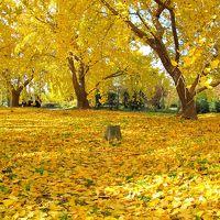 子どもと一緒に楽しむ、銀杏で黄金色に染まる祖父江町~幼き頃に思いを馳せながら~