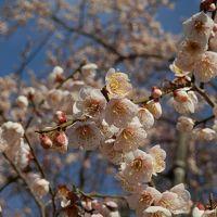 水戸偕楽園で、梅を満喫!今年はライトアップまで粘ってみた〜!!