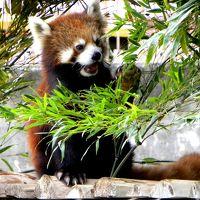 春のレッサーパンダ紀行【5】 みさき公園 大人パンダの集う公園 海外出張帰りのリフレッシュに・・・