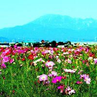 羽島のコスモス畑