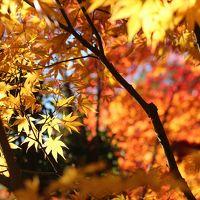 今年はマクロレンズ一本でチャレンジした森林公園の紅葉DAY(2)金色と朱色の日本庭園~キチジョウソウのある晩秋の野草コース