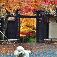 しょーきちさん 紅葉をめでる (1)  京の嵐山・嵯峨野を行く