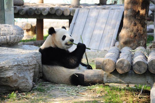 梅を見に行ったあと、パンダを見に野生動物園へ。<br /><br />割とメジャーでアクセスの良い上海動物園と違い、<br />野生動物園は浦東のかなり不便なところにあります。<br />浦東に住んでいる私でさえ、面倒なので行ったことが<br />ありませんでした。(バスがかなり時間かかる)<br /><br />でも、去年の秋ごろ、地下鉄に乗っていたら、<br />「16号線に乗って野生動物園へ行こう!」という<br />広告を目にして、地下鉄が開通したことを知り、<br />16号線で試しに野生動物園まで行ってみることにしました。<br /><br />さてどうなることやら?<br /><br /><br />★★ 野生動物園への行き方 ★★<br />浦東からは…バスでもいけますが、地下鉄+バスの組み合わせが便利。<br />地下鉄2号線龍陽路駅→(バス:浦東26路)→羅山路駅→(地下鉄16号線)→野生動物園駅→(バスOR白タク)→野生動物園<br /><br />もしくは<br />地下鉄6号線東方体育中心駅→(地下鉄11号線)→羅山路駅→(地下鉄16号線)→野生動物園駅→(バスOR白タク)→野生動物園<br /><br />浦西からは…<br />地下鉄江蘇路駅→(地下鉄11号線)→羅山路駅→(地下鉄16号線)→野生動物園駅→(バスOR白タク)→野生動物園