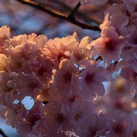 桜を求めて第3弾。花散らしの強風が吹く、ちょっぴりライトアップもありの寒い狭山池公園