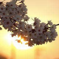 桜を求めて第6弾。夕方の狭山池再訪。南側をゆく。