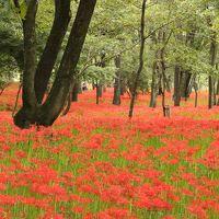 日高市 巾着田  真っ赤なひがんばなの絨毯