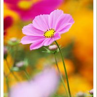 Solitary Journey [1448] 110万本のコスモスコレクション!時計草の花も咲いていました。<国営備北丘陵公園の秋祭り>広島県庄原市