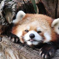 2014年度の茶臼山動物園レッサーパンダの赤ちゃん詣は偶然jilllucaさん・ピヨうさぎさくんと一緒@(3)Red Panda特集:出勤と朝ご飯の様子も見られた風鈴ちゃん・サラちゃん、干しパンダのシンゲンくん、お外でははじめましてネネちゃん、今まで見たことがないぱっちりおめめのアジサイちゃんとタイチくん、なかなか顔が拝めなかったセイナちゃん、そしてロンくん復活おめでとう!〜総勢13頭の豪華な布陣のレッサーパンダたち