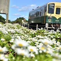 ひたちなか海浜鉄道湊線沿線に咲き広がるハマギクを見に訪れてみた、そして国営ひたち海浜公園のコキア