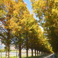 """琵琶湖ぐるっと一周 ~ 紅葉ドライブ ~ 1日目は。。。""""マキノ高原のメタセコイヤ並木と鶏足寺に行ってきました~"""""""