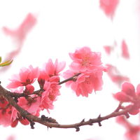 春香る古河桃まつり&菜の花☆霞ヶ浦の夕暮れも一緒に
