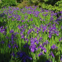 根津美術館 燕子花と紅白梅・特別展へ 庭園の燕子花(かきつばた)も満開!