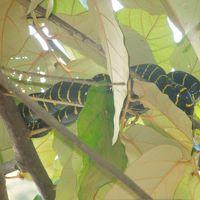 ボルネオ島(マレーシア)サバ州の自然に触れる旅 �キナバタンガンリバークルーズ終了 5月4日(月)