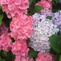 紫陽花を見にぶらり旅♪【三室戸寺&平等院】