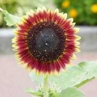 河内長野 「花の文化園」 盛夏の花は、ひまわり・蓮・フヨウ・・・くろまろの郷に「レストラン」オープン