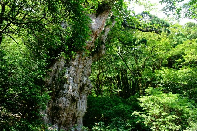数ヶ月前,縄文杉に会いたい!という思いが突然湧いてきました.というわけで,オットと山歩きを練習を開始.憧れの縄文杉に会えるかな・・・!?