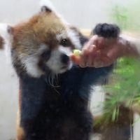 真夏の森林公園とナイトズーの埼玉こども動物自然公園はしごで1日2日分の楽しさ(後編)夜に元気な動物たちに会え、ディジュリドゥ・ライブも楽しめた動物園編:初めて見られたハナビちゃんのリンゴタイム&あられない寝姿が可愛かったコアラのハニーちゃんと屋外展示で初めて会えたボウくん&すくすく育っていたナマケモノの赤ちゃん