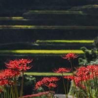 NIPPONの風景を見てきました 【うきは市&八女市の棚田に咲くヒガンバナ】