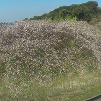 2015.10.24 知多市大興寺の四季桜を覗いてきました