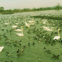 """""""瓢湖の白鳥に興奮して。。。新潟グルメに舌鼓~"""" 。。。そして。。。 """"彌彦神社に参拝しました"""""""